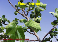 Herbal viagra the use of fruit Tin (Ficus carica)