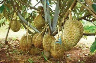 Cara penanaman bibit buah yang benar dan perawatanya