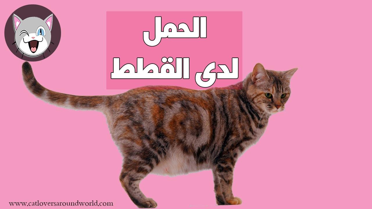 هذه مدة حمل القطط وكل الأشياء التي تحتاجها القطط أثناء الحمل