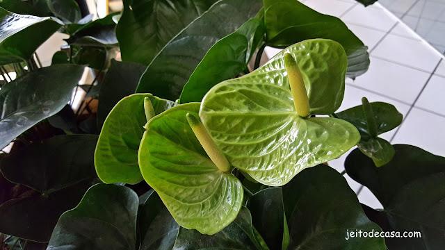 planta -anturio-verde