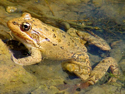 Northern red legged Frog