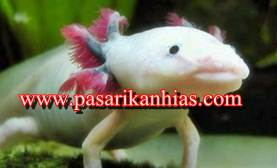Jual Ikan Salamander Axolotl Murah