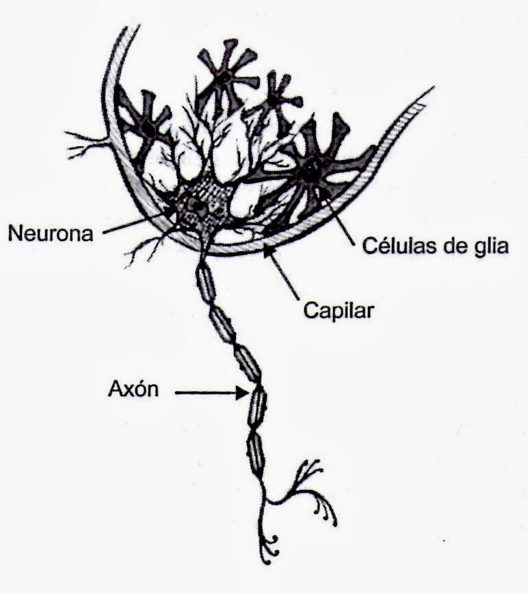 Estructura anatómica de la neurona