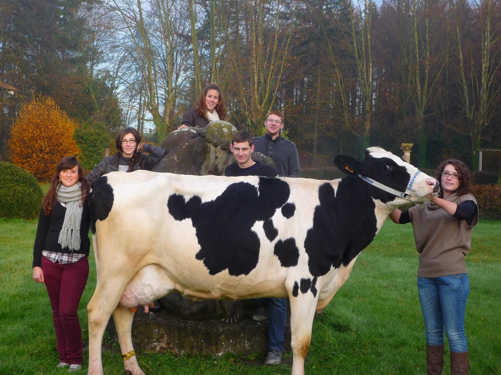 vache holstein production laitière