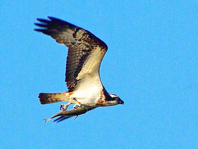 Osprey in flight with freshly caught fish