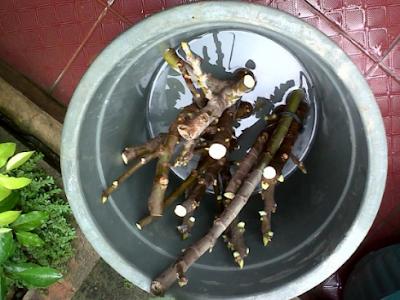 cara perbanyakan pohon tin dengan stek batang
