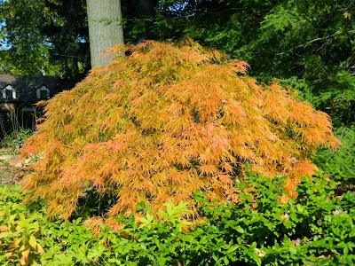 """Waterfall"" laceleaf Japanese maple ( Acer palmatum var. dissectum  ""Waterfall"" )  autumn foliage  by garden muses-not another Toronto gardening blog."