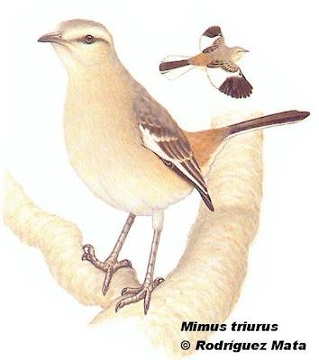 Calandria real Mimus triurus
