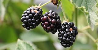 blackberry-www.healthnote25.com