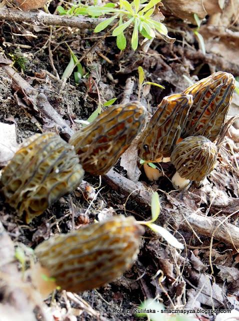 smardz stozkowaty, morchella conica, smardzusie, smardzowanie, grzyby chronione, las legowy, legi, nad rzeka, warszawa, spacer, wycieczka, piekny dzien, na grzyby, grzybobranie