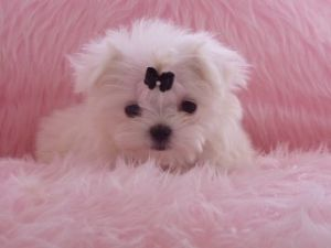 teacup maltese puppies for free cute puppy dogs teacup maltese puppies 2909
