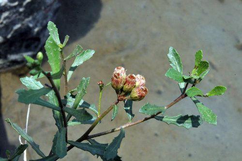 Nam Sài Hồ - Pluchea pteropoda - Nguyên liệu làm thuốc Chữa Cảm Sốt