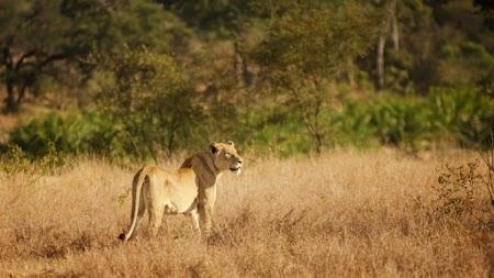 Lioness in Kruger National Park