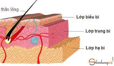 Cấu tạo da gồm 3 phần: biểu bì, trung bì và hạ bì