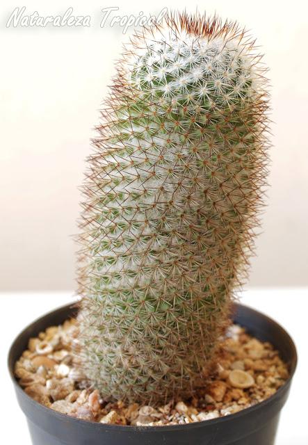 Cactus Mammillaria columbiana cultivado en maceta