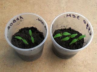Рассада индетерминантных помидоров через 10 дней после посева, позже будет прорежена