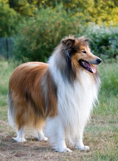 el collie de pelo largo