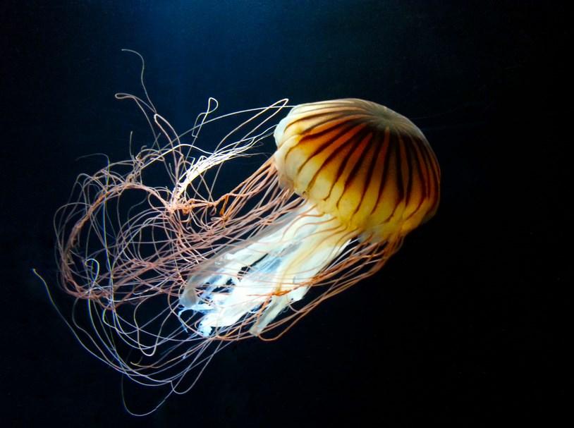Ubur-Ubur Lion's Mane Jellyfish atau Cyanea capillata lucu dan keren