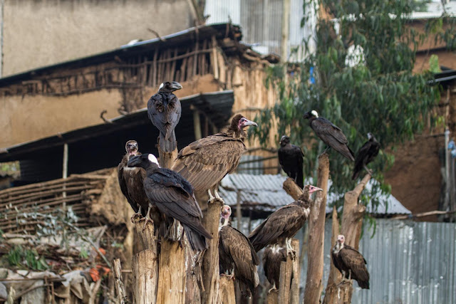 Why vultures matter, and what we lose if they're gone