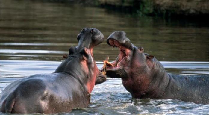 Kuda Nil - Pygmy Hippopotamus