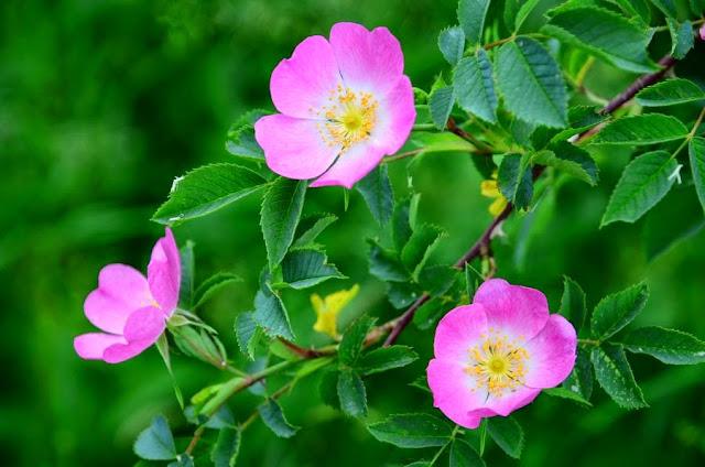 Dzika róża kwiaty