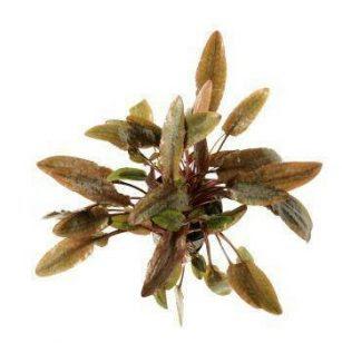 tanaman aquascape