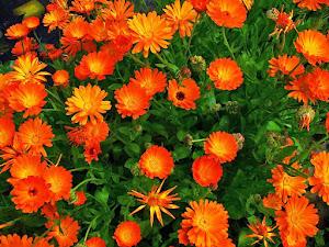 Manfaat Plastik Uv - Manfaat Bunga Calendula, Flora Anggun Dengan Anti Bakteri
