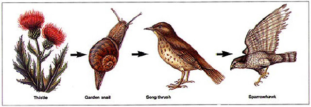 Food chain - Thistle - Garden snail - Song thrush Sparrowhawk