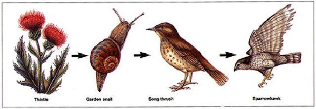 Food chain - Thistle - Garden snail - Song thrush Sparrowhawk