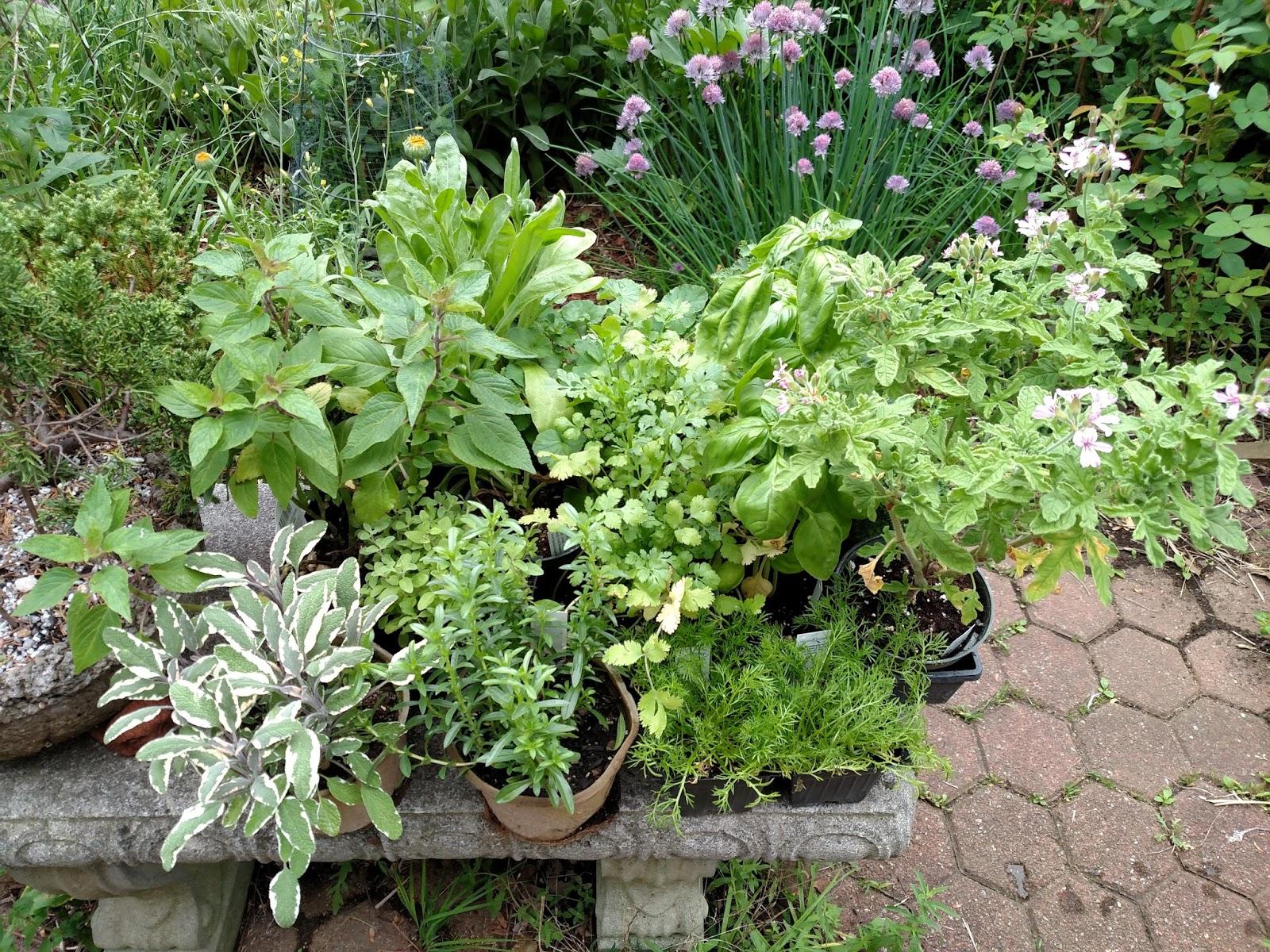 Lemon Verbena Lady 39 S Herb Garden