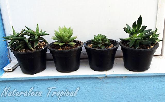 Ventajas y desventajas de coleccionar cactus y plantas crasas en macetas pequeñas