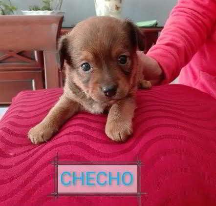 cachorro mestizo de tamaño pequeño