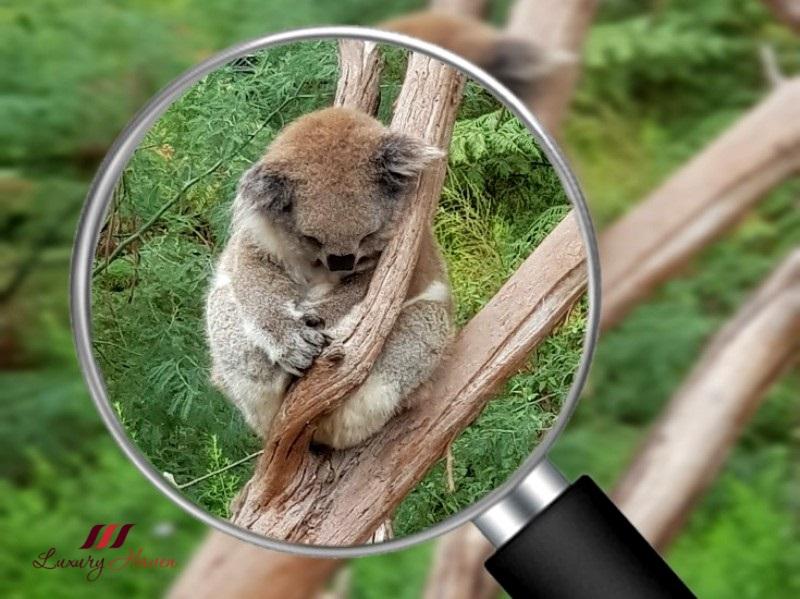 gray line australia healesville sanctuary koala