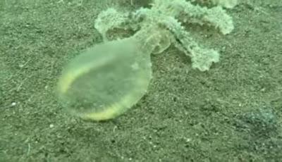 Makhluk Aneh Seperti Alien di Dasar Laut Bali