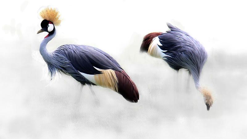 Grey Crowned Crane HD
