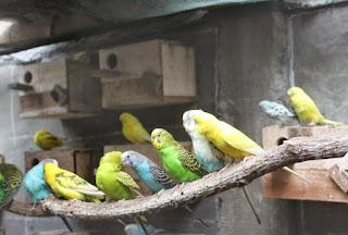 Ternak-Burung-Parkit