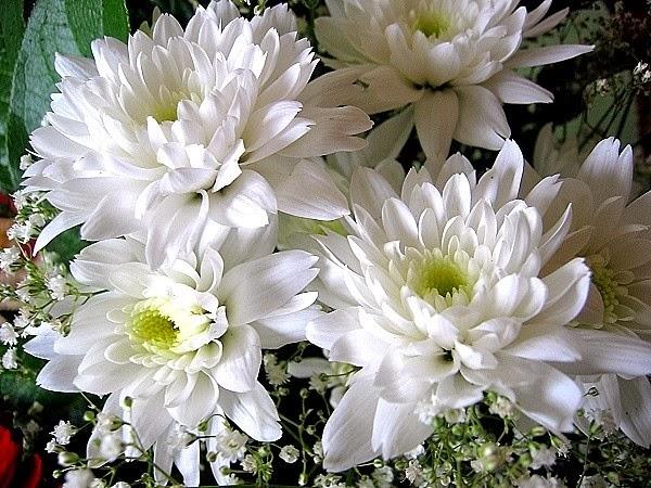Romantic flowers chrysanthemum flowers for view chrysanthemum chrysanths chrysanthemum flowers chrysanthemum flower meanings chrysanthemum pictures chrysanthemum colors click here mightylinksfo