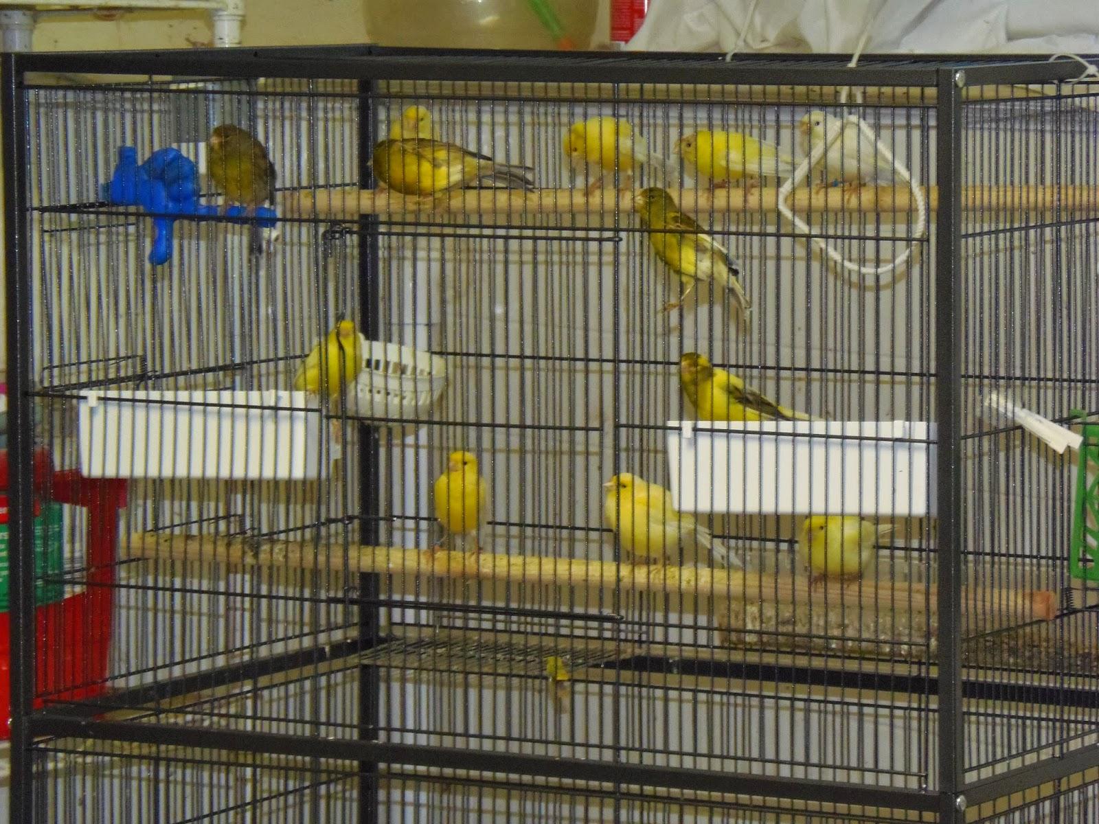 Suburban Canary - Song Birds: My Aviary