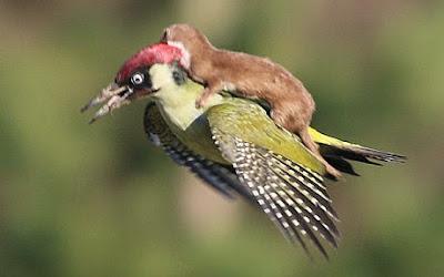 Foto Musang Naik Punggung Burung Pelatuk Yang Terbang