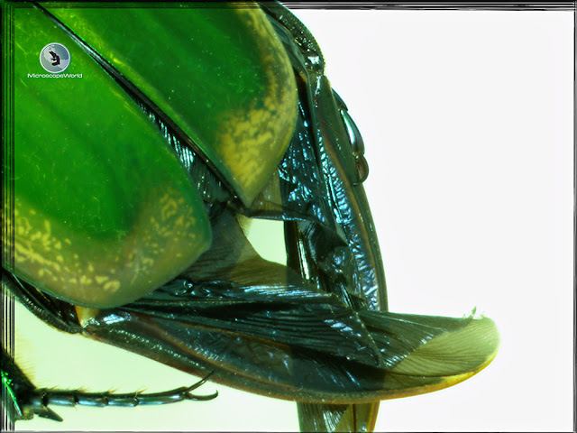 June bug wings captured with extended depth of focus digital stereo zoom microscope.