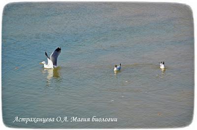 водные птицы, чайки, река, вода, чайка речная, чайка хохотунья, крылья