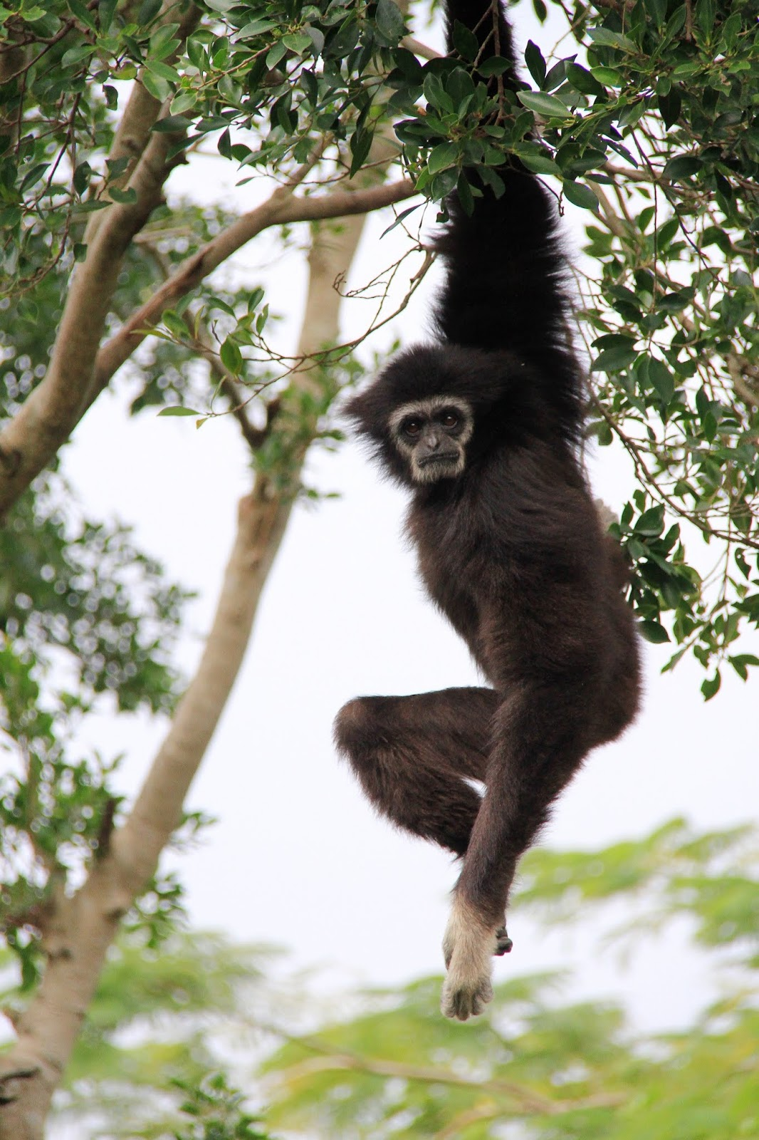 Picture of gibbon monkey hanging from a tree.