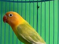 Penyebab Umum Lovebird Macet Bunyi