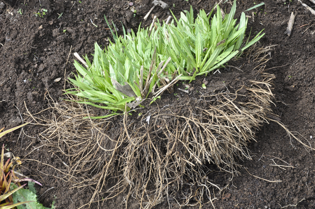 Growing With Plants Dividing Perennials Through Simple Division