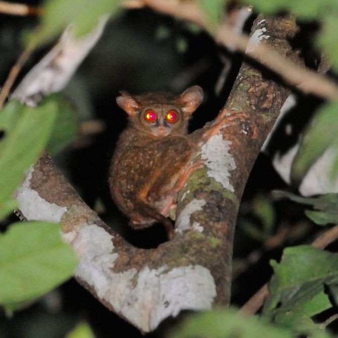 Species New to Science: [Mammalogy • 2017] Tarsius ...