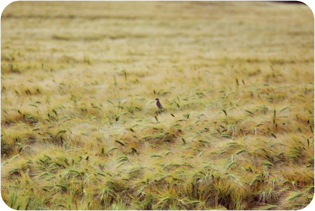 Bird in field - Aberdeenshire