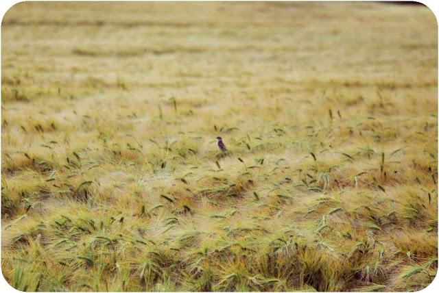 Bird in field - Aberdeenshire