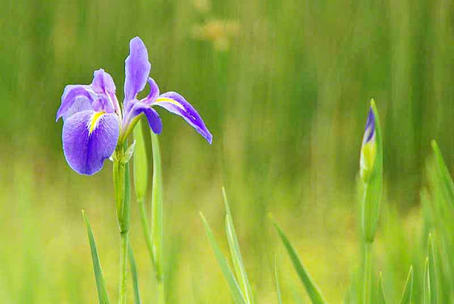 flower, iris, bud, fields