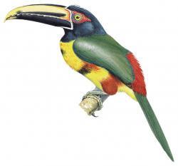 Pteroglossus sanguineus