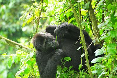 gorilla trekking safaris in Congo, gorilla tours in Congo, tours in Congo